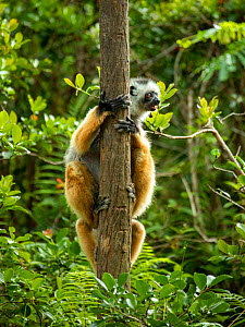 Diademed sifaka (Propithecus diadema), mother carrying her young on her back (legs of young are visible beneath mother's). Andasibe National Park, Madagascar. Critically Endangered species.  -  Sandesh  Kadur