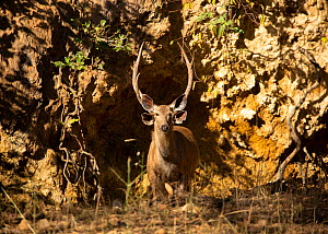 Sambar (Rusa unicolor), Ranthambore National Park, Rajasthan, India. Antlers and ears of male visible behind female. Vulnerable species.  -  Sandesh  Kadur
