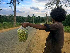 Tribal boy selling he picked from the forest, gooseberries to tourists and passer-by's. Karnataka, India. December 2020.  -  Felis Images