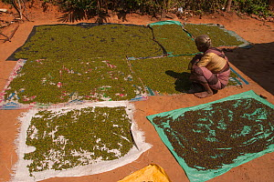Elderly woman lays out pepper to dry in the hot sun. Western Ghats, India. Grown in local forests.  -  Sandesh  Kadur