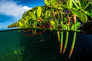 Red mangrove (Rhizophora mangle) propagules / plantlets which become fully mature plants before dropping off the parent tree to drift away and establish a new tree. Bahamas.  -  Shane Gross