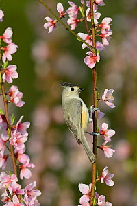 Black-crested titmouse (Baeolophus atricristatus) perched on blossoming Peach (Prunus persica) tree branch. Hill Country, Texas, USA.  -  Rolf Nussbaumer