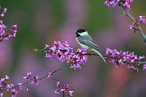 Carolina chickadee (Poecile carolinensis) perched on blossoming Eastern redbud (Cercis canadensis) branch. Hill Country, Texas, USA.  -  Rolf Nussbaumer