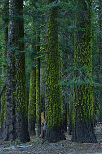 Red fir (Abies magnifica) tree trunks covered in lichen, in forest. Yosemite National Park, California, USA. September 2013.  -  Rolf Nussbaumer