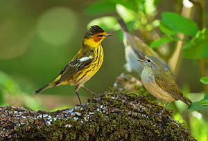 Cape may warbler (Setophaga tigrina) male and Tennessee warbler (Leiothlypis peregrina) in territorial fight. South Padre Island, Texas, USA.  -  Rolf Nussbaumer