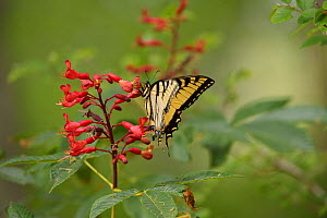 Eastern tiger swallowtail butterfly (Papilio glaucus) nectaring on Red buckeye (Aesculus pavia). Palmetto State Park, Texas, USA.  -  Rolf Nussbaumer