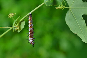 Gulf fritillary butterfly (Agraulis vanillae) caterpillar pupating. Hill Country, Texas, USA. Sequence 1/6.  -  Rolf Nussbaumer