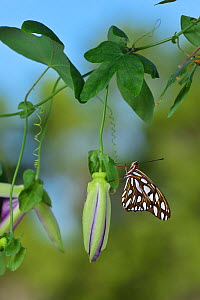 Gulf fritillary butterfly (Agraulis vanillae) resting on Passion vine (Passiflora sp). Hill Country, Texas, USA.  -  Rolf Nussbaumer