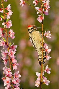 Ladder-backed woodpecker (Picoides scalaris) male perched amongst Peach (Prunus persica) blossom. Hill Country, Texas, USA.  -  Rolf Nussbaumer