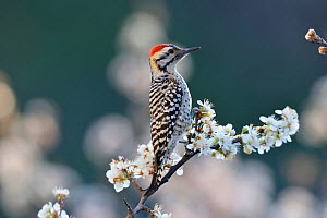 Ladder-backed woodpecker (Picoides scalaris) male perched on blossoming Mexican plum (Prunus mexicana). Hill Country, Texas, USA.  -  Rolf Nussbaumer
