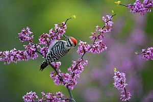 Ladder-backed woodpecker (Picoides scalaris) male feeding amongst blossoming Eastern redbud (Cercis canadensis). Hill Country, Texas, USA.  -  Rolf Nussbaumer