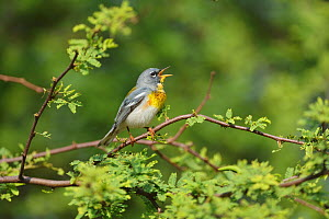 Northern parula (Setophaga americana) male singing. South Padre Island, Texas, USA.  -  Rolf Nussbaumer