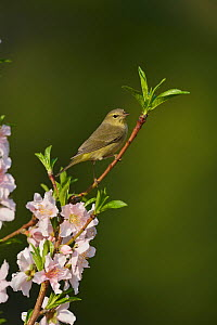 Orange-crowned warbler (Vermivora celata) perched in blossoming Peach (Prunus persica) tree. Hill Country, Texas, USA.  -  Rolf Nussbaumer