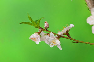 Peach (Prunus persica) blossom, buds and young leaves. Hill Country, Texas, USA.  -  Rolf Nussbaumer
