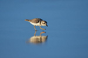 Piping plover (Charadrius melodus) wading. South Padre Island, Texas, USA.  -  Rolf Nussbaumer