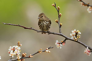 Pine siskin (Carduelis pinus) perched in blossoming Mexican plum (Prunus mexicana) tree. Hill Country, Texas, USA.  -  Rolf Nussbaumer