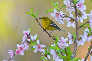 Pine warbler (Dendroica pinus) male perched in blossoming Peach (Prunus persica) tree. Hill Country, Texas, USA.  -  Rolf Nussbaumer