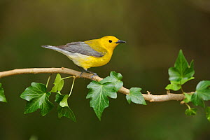 Prothonotary warbler (Protonotaria citrea) male perched on Ivy (Hedera sp) branch. South Padre Island, Texas, USA.  -  Rolf Nussbaumer
