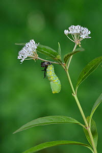 Queen butterfly (Danaus gilippus) caterpillar pupating on Aquatic milkweed (Asclepias perennis). Hill Country, Texas, USA. Sequence 6/9.  -  Rolf Nussbaumer
