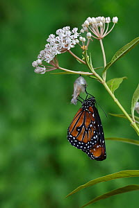 Queen butterfly (Danaus gilippus) expanding wings after emerging from chrysalis on Aquatic milkweed (Asclepias perennis). Hill Country, Texas, USA. Sequence 11/12.  -  Rolf Nussbaumer