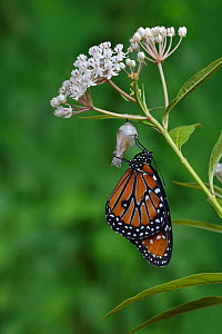 Queen butterfly (Danaus gilippus) expanding wings after emerging from chrysalis on Aquatic milkweed (Asclepias perennis). Hill Country, Texas, USA. Sequence 12/12.  -  Rolf Nussbaumer