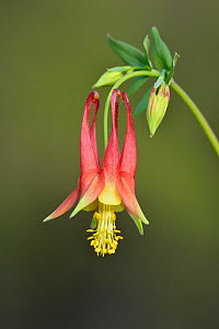Red columbine (Aquilegia canadensis). Hill Country, Texas, USA.  -  Rolf Nussbaumer