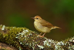 Swainson's warbler (Limnothlypis swainsonii) perched on lichen and moss covered branch. South Padre Island, Texas, USA.  -  Rolf Nussbaumer
