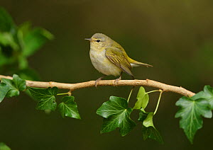 Tennessee warbler (Leiothlypis peregrina) perched on ivy branch. South Padre Island, Texas, USA.  -  Rolf Nussbaumer