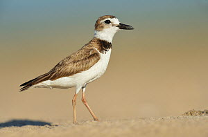 Wilson's plover (Charadrius wilsonia) standing on sand. South Padre Island, Texas, USA.  -  Rolf Nussbaumer