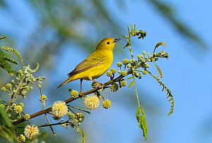 Yellow warbler (Setophaga petechia) female perched on branch. South Padre Island, Texas, USA.  -  Rolf Nussbaumer