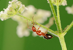 Acrobat ant (Crematogaster sp) milking aphid. Hill Country, Texas, USA.  -  Rolf Nussbaumer
