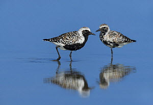 Black-bellied plover (Pluvialis squatarola), two reflected in water. South Padre Island, Texas, USA.  -  Rolf Nussbaumer