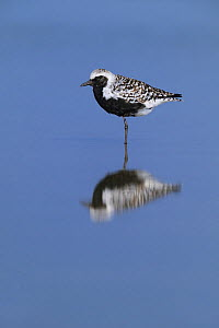 Black-bellied plover (Pluvialis squatarola) reflected in water. South Padre Island, Texas, USA.  -  Rolf Nussbaumer