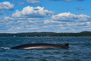 Fin whale (Balaenoptera physalus) with patches of diatoms growing on skin, Letete Passage, Bay of Fundy, Canada, North Atlantic Ocean. August.  -  Doug Perrine