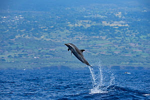 Pantropical spotted dolphin (Stenella attenuata) jumping out of the water, crater wounds visible from bite of Cookie cutter shark (Isistius brasiliensis), South Kona, Hawaii.  -  Doug Perrine