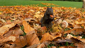 Melanistic grey squirrel (Sciurus carolinensis) searching for, finding and eating chestnuts amongst autumn leaves, Bedfordshire, UK, October.  -  Brian Bevan