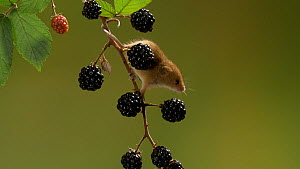 Harvest mouse (Micromys minutus) climbing down blackberries on branch, Bedfordshire, UK, September. Controlled conditions.  -  Brian Bevan