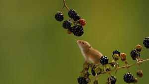 Harvest mouse (Micromys minutus) exploring blackberries on branch, Bedfordshire, UK, September. Controlled conditions.  -  Brian Bevan