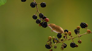 Two Harvest mice (Micromys minutus) exploring blackberries on branch, Bedfordshire, UK, September. Controlled conditions.  -  Brian Bevan