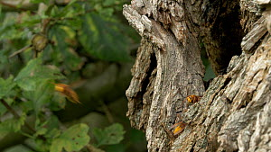 Hornet (Vespa crabro) guarding entrance to nest, gives way to incoming hornets, Cambridgeshire, UK, September.  -  Brian Bevan