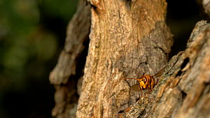 Hornet (Vespa crabro) leaving and returning to nest site in willow tree, Cambridgeshire, UK, September.  -  Brian Bevan