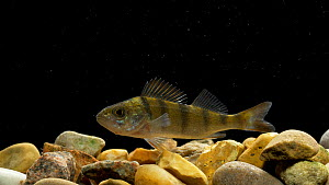 Young European perch (Perca fluviatilis) swimming, Bedfordshire, UK, Novermber. Controlled conditions.  -  Brian Bevan