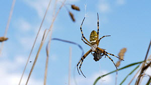 Wasp spider (Argiope bruennichi) eating a fly caught in its web, Bedfordshire, UK, August  -  Brian Bevan