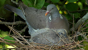 Wood pigeon (Columba palumbus) resting with chick in nest before catching a fly and eating it, Bedfordshire, UK, August.  -  Brian Bevan