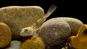 Bullhead millers thumb (Cottus gobio) resting amongst stones, Befordshire, UK, November. Controlled conditions.  -  Brian Bevan