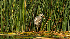 Grey heron (Ardea cinerea) catching and swallowing a small perch, Cambridgeshire, UK, September.  -  Brian Bevan