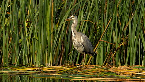 Grey heron (Ardea cinerea) ruffling its feathers before drinking from the river, Cambridgeshire, UK, September.  -  Brian Bevan