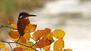 Male Kingfisher (Alcedo atthis) perched in a Beech tree before flying away and exiting frame, Bedfordshire, UK, September.  -  Brian Bevan