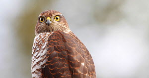 Portrait of a Sparrowhawk (Accipiter nisus), Telemark, Norway.  -  Pal Hermansen