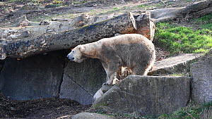 Female polar bear (Ursus maritimus) cub on her first outing in the outdoor enclosure, struggling to follow her mother up a rock until the mother turns around to help her clamber up by gently pushing t...  -  Eric Baccega
